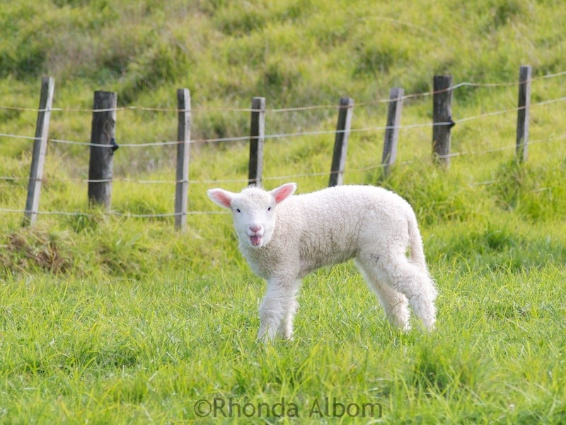 Adorable lamb in a field in Shakespear Park, Auckland New Zealand