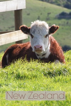 Cow in New Zealand