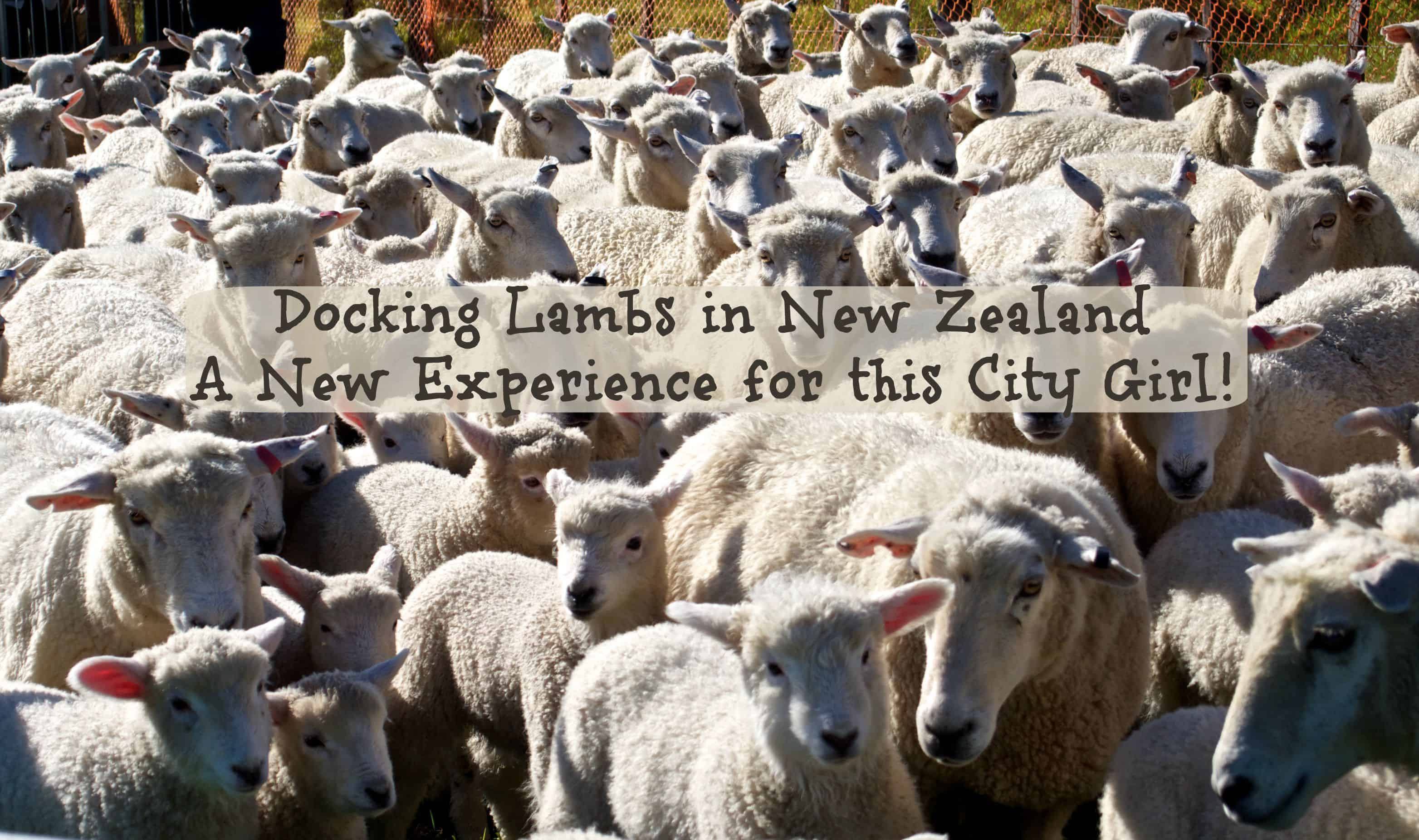 Docking Lambs in New Zealand