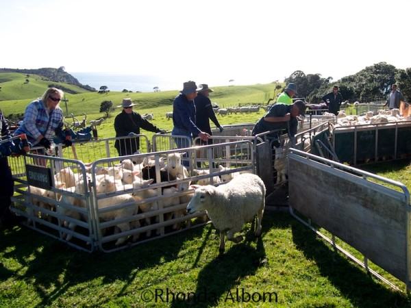 Drafting the sheep to separate the lambs and the mature sheep in Shakespear Park