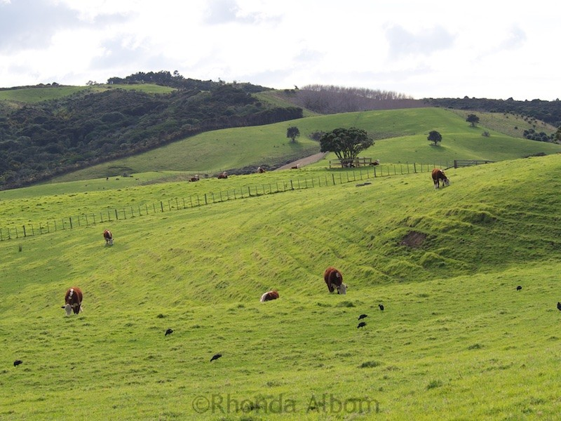 Cows in a field in Shakespear Park Auckland New Zealand
