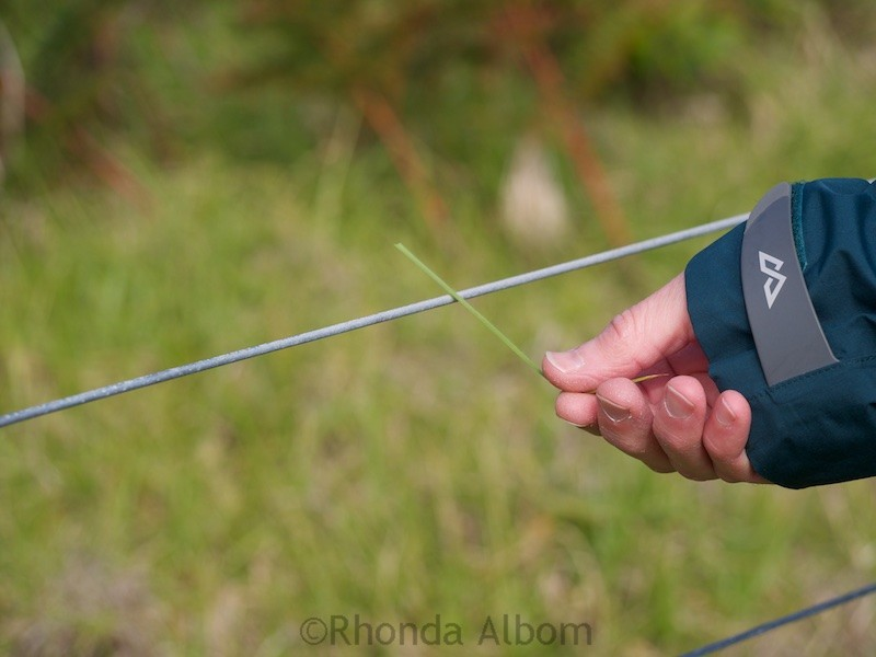 Using a blade of grass to test the electric fence in Shakespear Park Auckland New Zealand