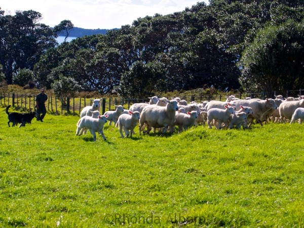 Dogs muster sheep and lambs in New Zealand.