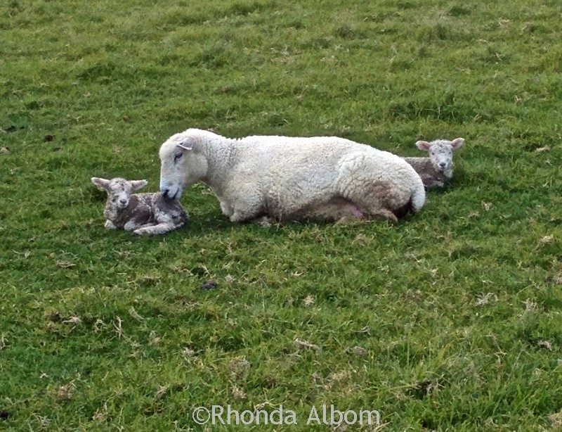 New born lambs in a field in Shakespear Park, Auckland New Zealand