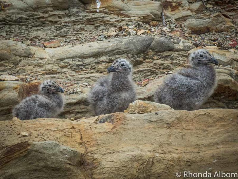 One of several seagull chicks pictures from Pink Beach in Shakespear Park Auckland New Zealand