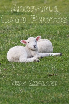 Adorable baby lambs resting in a field in Shakespear Park, Auckland New Zealand