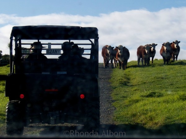 Cows on the road in Shakespear Park Auckland New Zealand