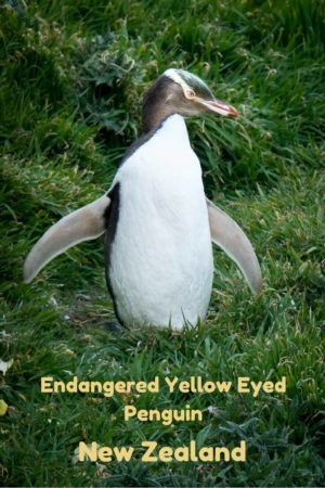 Endangered yellow-eyed penguins on the South Island of New Zealand. Read the article for more photos and information