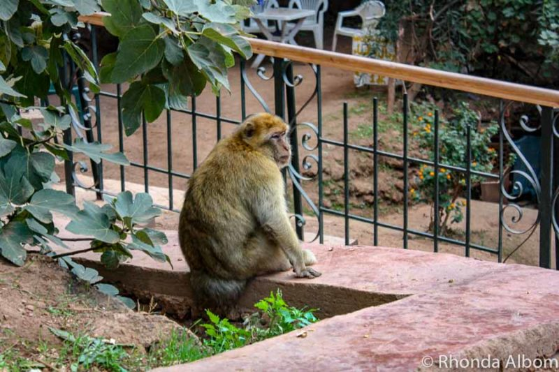 Barbary Macaque at Cascade D'Ouzoud in Morocco