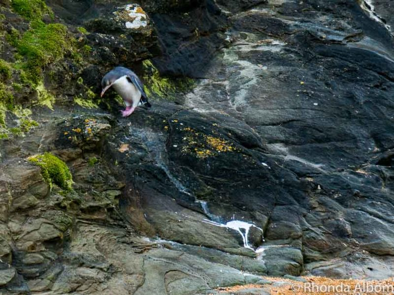 Yellow eyed penguin spotted on the rocks in New Zealand