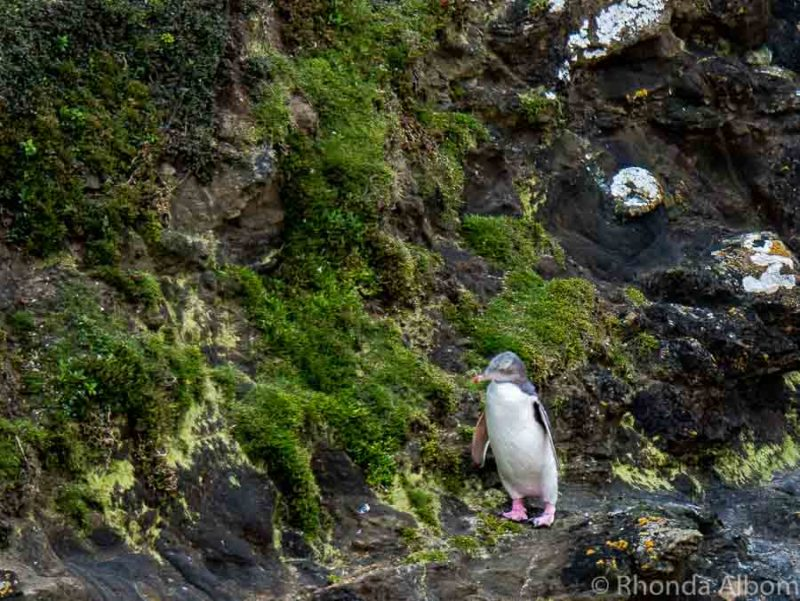 Wildlife spotting at Moeraki Lighthouse - Yellow eyed penguins