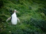 Yellow-eyed penguin at Katiki Lighthouse in New Zealand