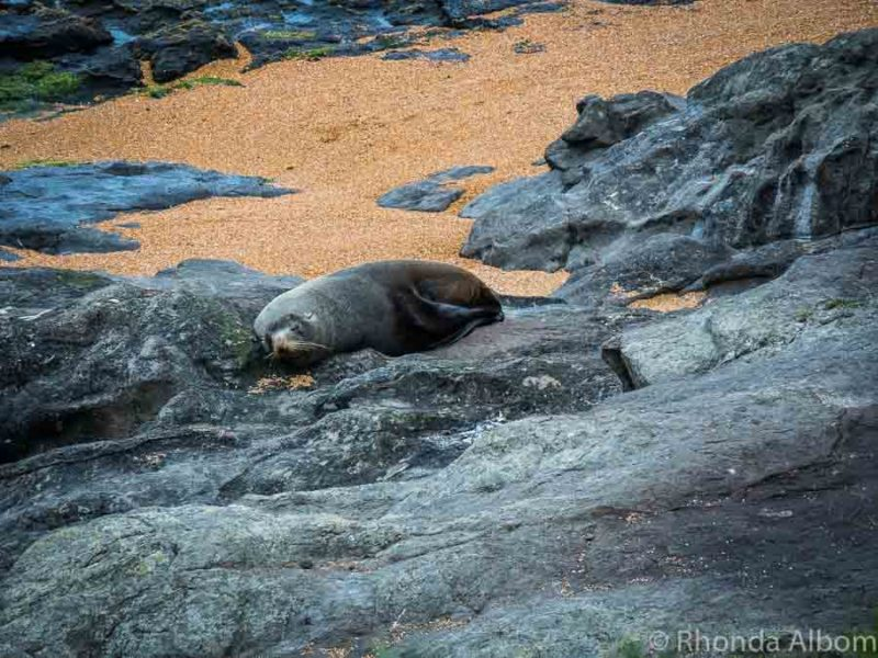Fur seal pup on Katiki Beach in New Zealand