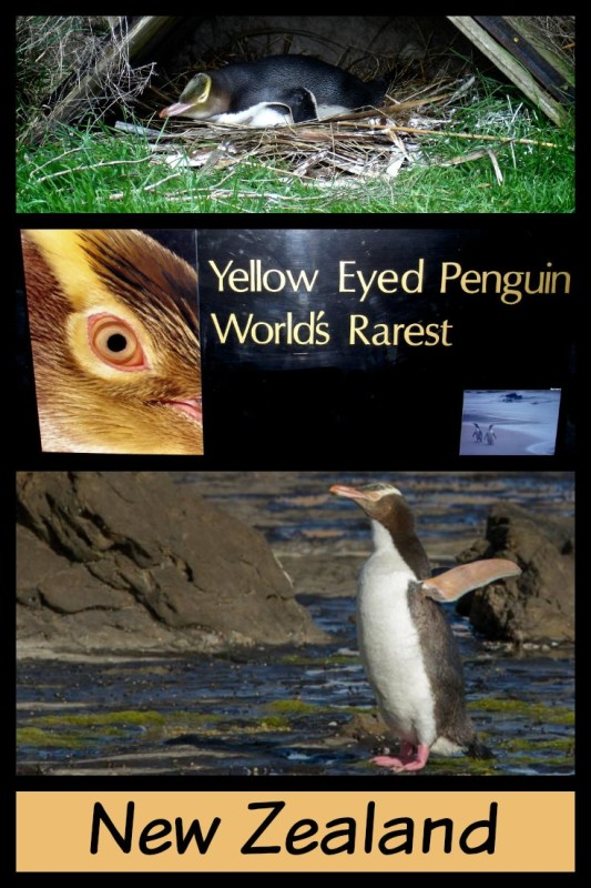 Endangered yellow-eyed penguins on the South Island of New Zealand.