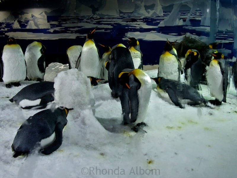 Gentoo penguins seen through the glass at Kelly Tarlton's Sea Life Aquarium in Auckland New Zealand