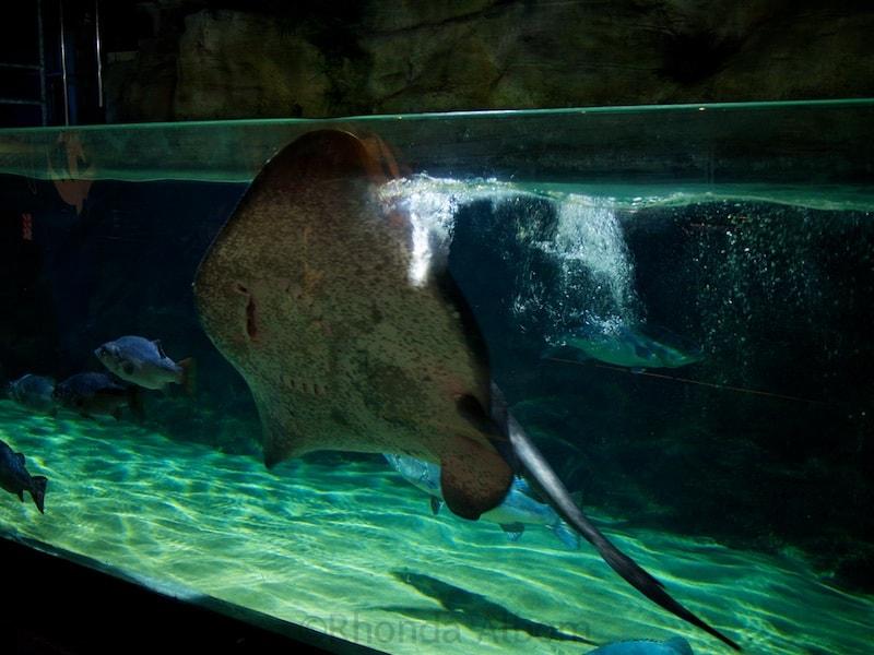 Stingray Bay at Kelly Tarlton's Sea Life Aquarium in Auckland New Zealand