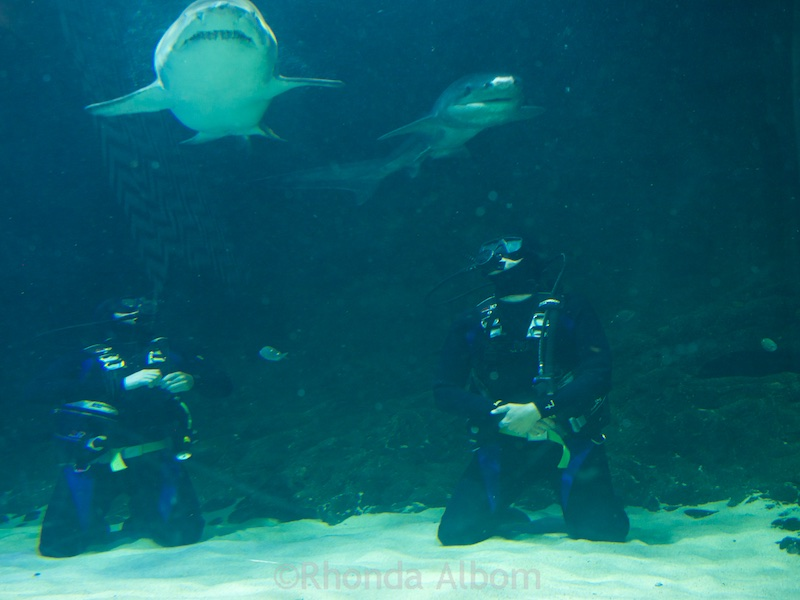 Sharks swimming over the head of divers at Kelly Tarlton's Sea Life Aquarium in Auckland New Zealand