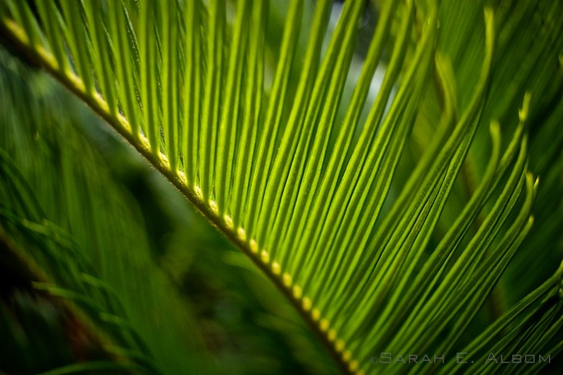 Ferns in Hyde Park, Sydney, Australia. Copyright Sarah E. Albom 2015; for more photos of Sydney, visit the blog