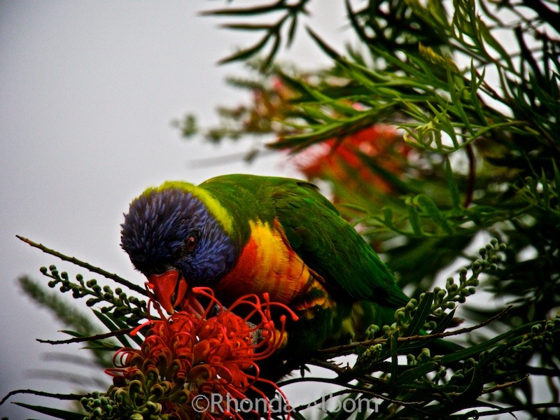 Rainbow Lorikeet in Sydney's Botanic Gardens Australia