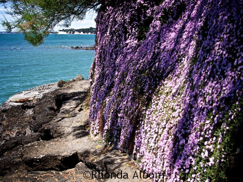 A stunning, fragrant wall of flowers on the Takapuna to Milford Coastal Walk in Auckland New Zealand