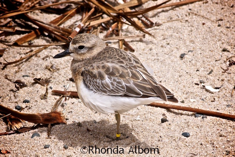 The endangered NZ Dotterel is found only in New Zealand. (Auckland Zoo Photos)