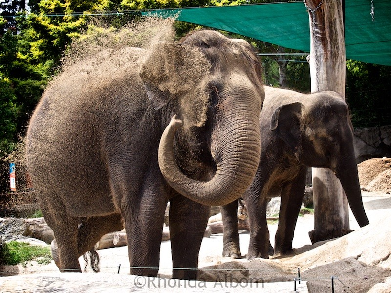 Watching the elephants at the Auckland Zoo in New Zealand is one of the fun things to do in Auckland for kids