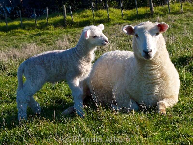 Mama sheep and baby lamb in Shakespear Park, Auckland New Zealand (2015 photos)