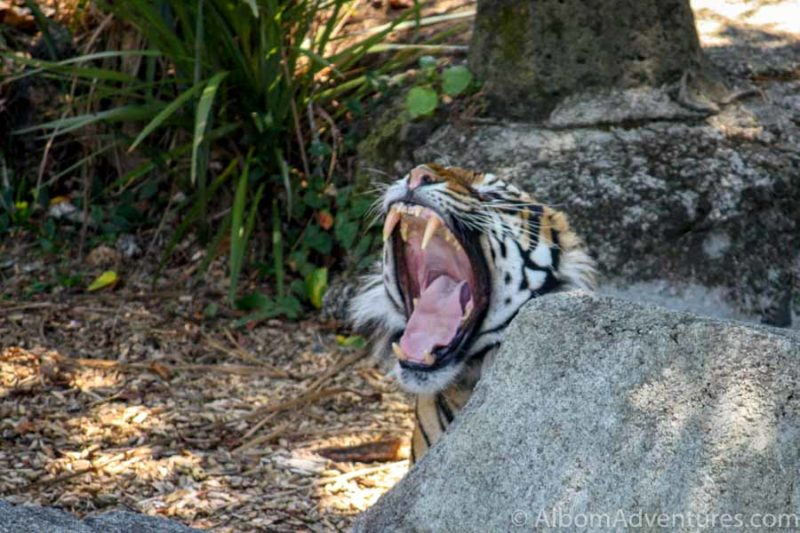 A critically endangered Sumatran tiger yawns, showing his teeth, at the Auckland Zoo in New Zealand