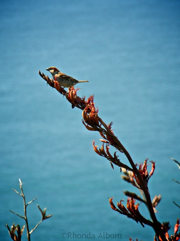 A sparrow on a flax plant in New Zealand