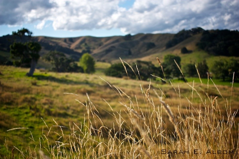 Close up of the grass on the hills surrounding the campsite at Te Muri in Mahurangi West, Auckland, New Zealand. Copyright Sarah E. Albom 2016; for more photos of Mahurangi West, visit the blog