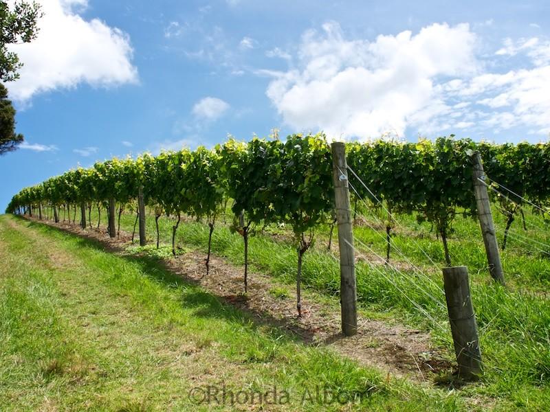 Vineyards of Obsidian Wines on Waiheke Island outside of Auckland New Zealand
