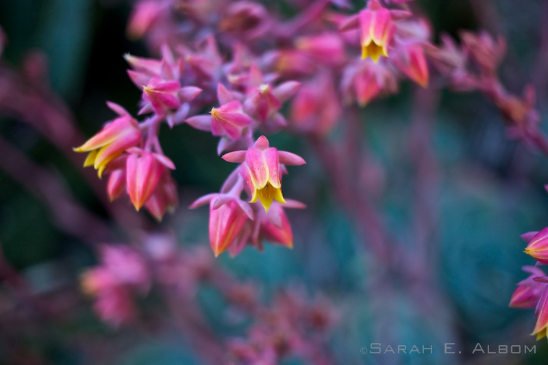 Pink flowers at the Wellington Botanical Gardens in Wellington, New Zealand. Copyright Sarah E. Albom 2016; for more New Zealand photos, visit the blog