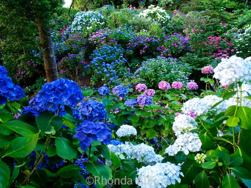 A rainbow of colorful hydrangeas in Wellington Botanic Garden New Zealand