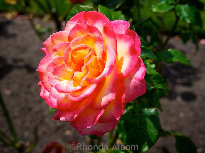One of many vivid roses in the award wining Lady Norwood Rose Garden in Wellington, New Zealand