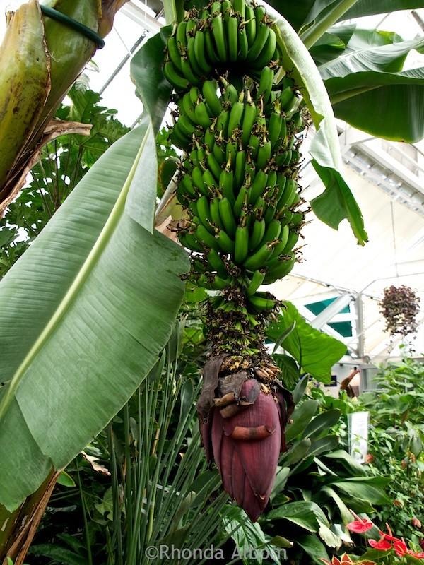 Bananas growing inside the begonia house at Wellington Botanic Garden in Wellington New Zealand