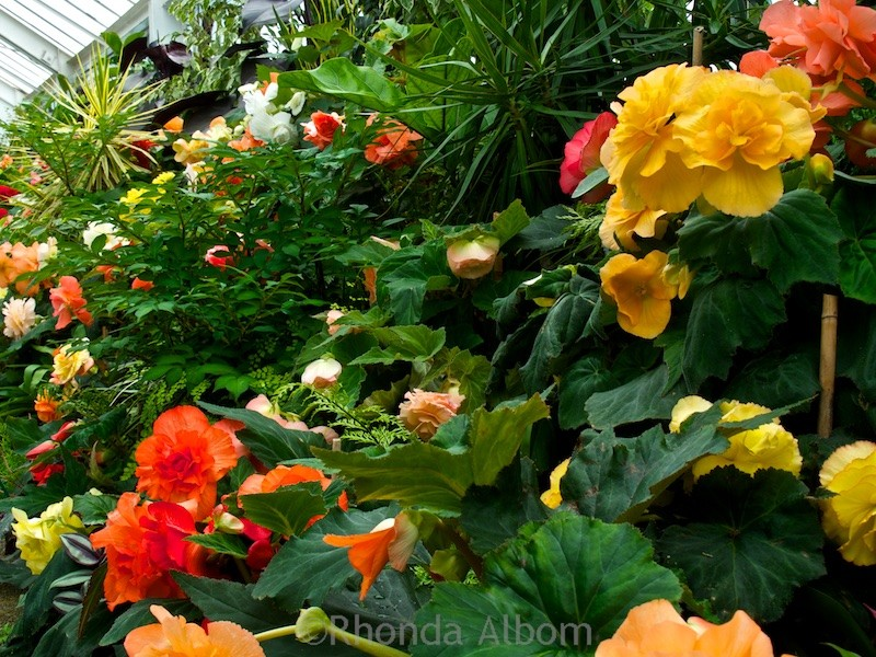 Colorful flowers in the begonia house in the Wellington Botanic Garden in Wellington New Zealand