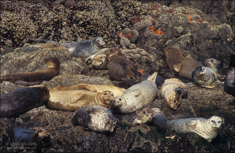 Harbor Seals resting on the rocks at Strawberry Hill State Wayside on the Oregon coast. Photo by Greg