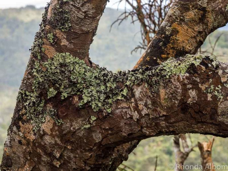 Lichen growing on trees in the Waitakere Ranges in Auckland New Zealand