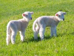 Spring lambs in Shakespear Park, Auckland, New Zealand