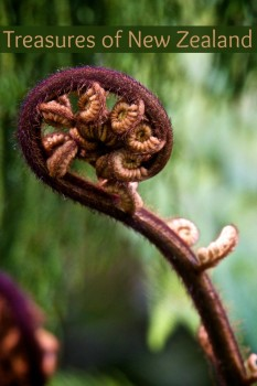 A close up of a fern in New Zealand seen from the Arataki Visitor's Centre in the Waitakere Ranges