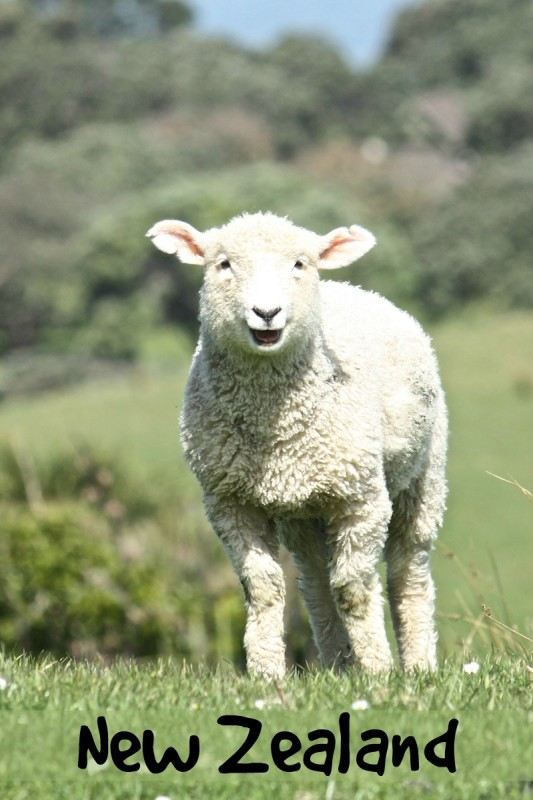 Spring lamb in Shakespear Park, Auckland, New Zealand
