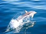 Common Dolphin see on an Auckland Whale and Dolphin Safari in New Zealand