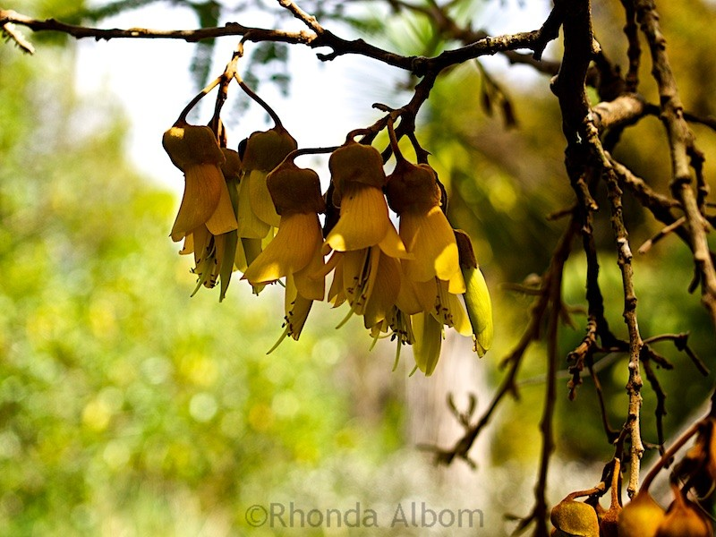 Kowhai - the unofficial flower of New Zealand has yellow seeds