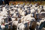 Mob of sheep at Shakespear Park, Auckland New Zealand