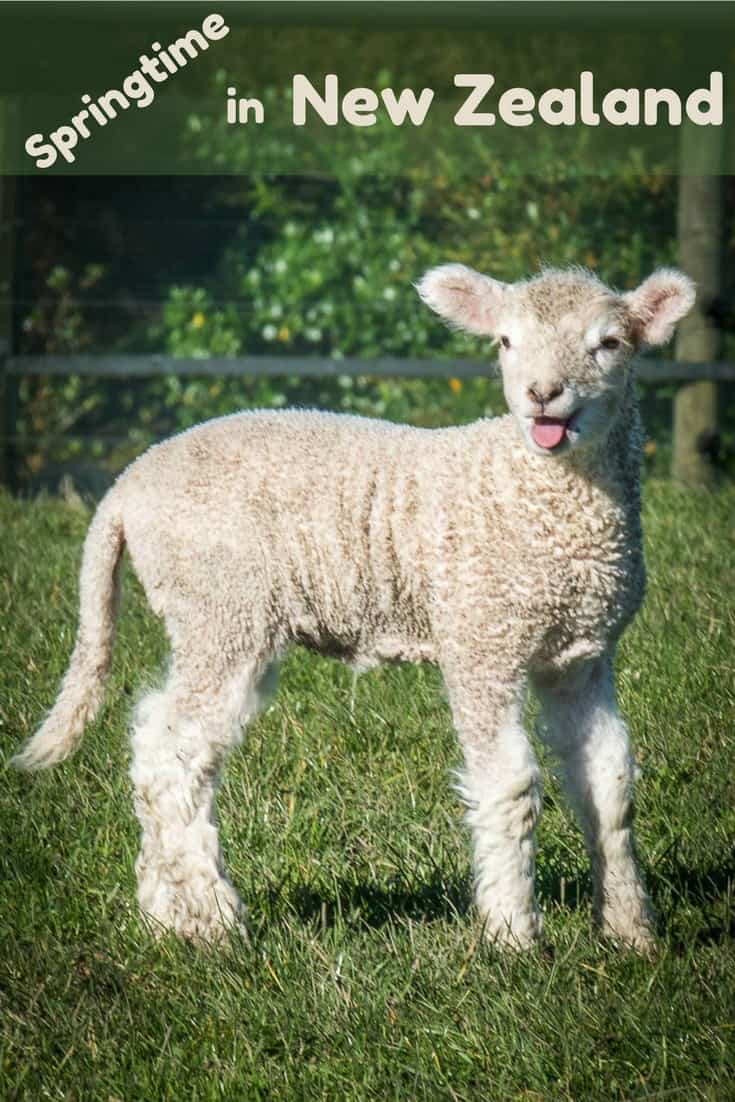 One of a collection of adorable spring lambs born in Shakespear Park, Auckland, New Zealand. Read the article to see more photos.