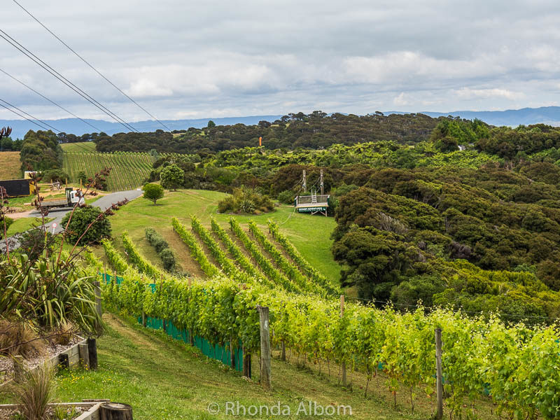 Zipline Waiheke over a working vineyard, outside of Auckland New Zealand
