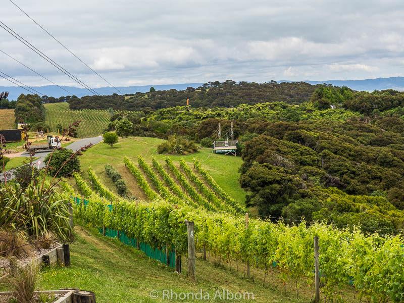 Zipline Waiheke over a working vineyard, outside of Auckland New Zealand