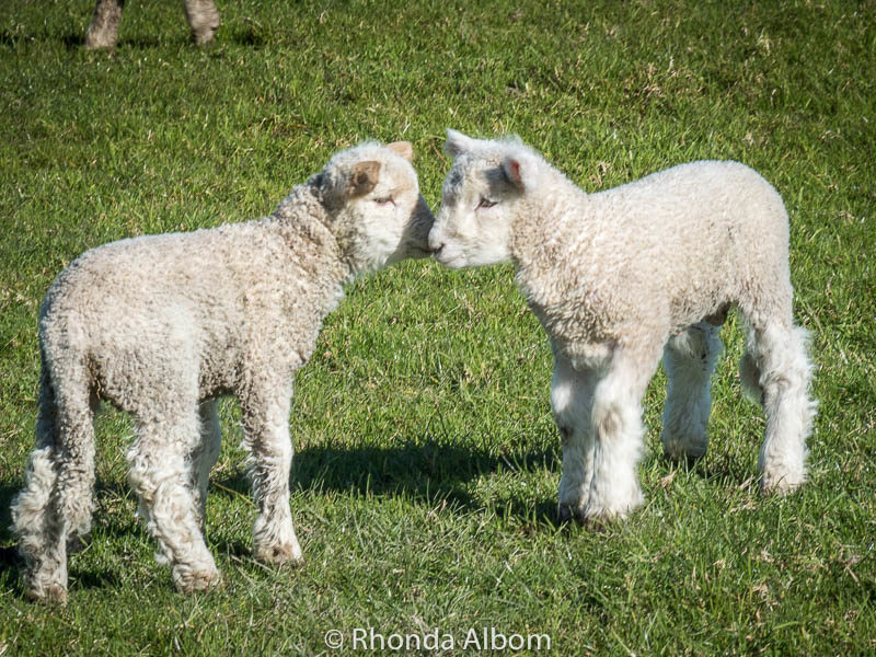 Twin baby lambs in Shakespear Park, Auckland New Zealand