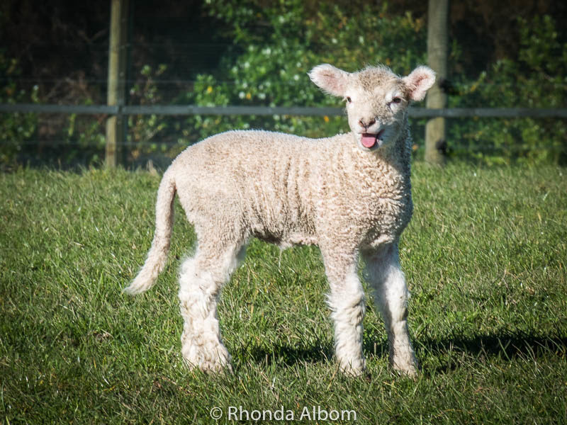 Springtime in New Zealand. This lamb is in Shakespear Park, just north of Auckland.