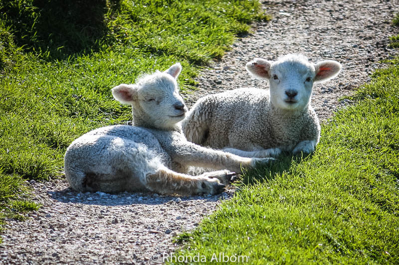 Baby lambs on the South Island of New Zealand